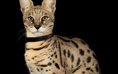 Cele mai mari rase de pisici din lume – Partea I