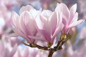 tulip-magnolia-1325396_960_720